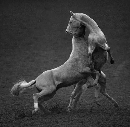 Blood Sweating Horses Fighting